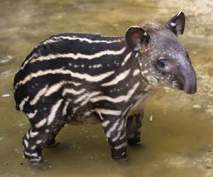 """Yes, I know that's a tapir and not a """"taper."""" But look how cute!"""